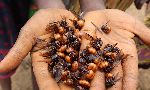 Two hands are open, holding nearly two dozen flying ants.